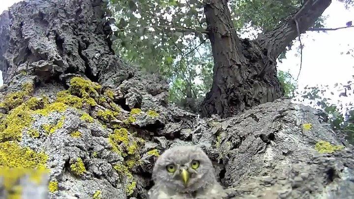 Почему сова выпучила глаза Смешные видео