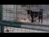 Пёс воспитывает львиц или Кто в доме хозяин