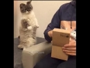 Adorable Munchkin Kitty standing up very curious because her owner has a gift for her
