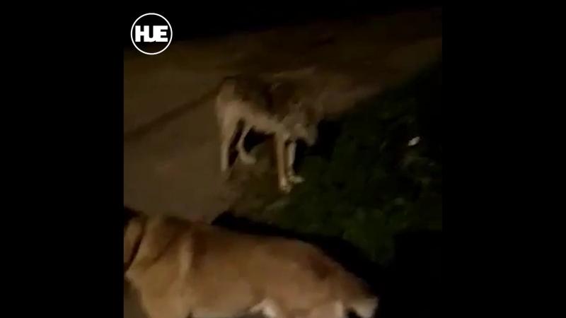 В Белых Столбах волки подобрались к людям вплотную и промышляют на помойках