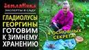 Гладиолусы и георгины Как выкапывать и хранить гладиолусы Как подготовить георгины к хранению