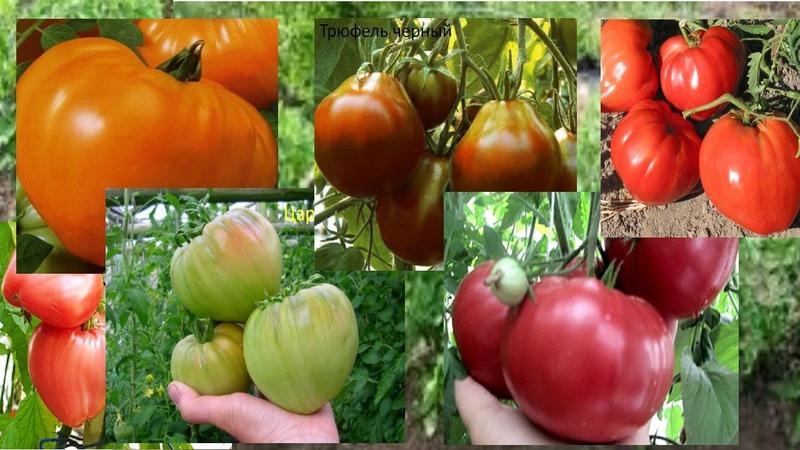 Обзор сортов крупноплодных помидоров. Лучшие сорта мясистых томатов 2017.