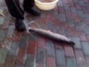 как я чищу рыбу