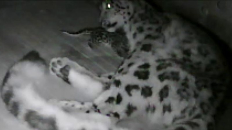 Snow Leopard Cub Born