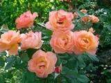 Роза Lady Emma Hamilton (Austin Великобритания, 2005)