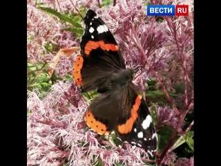 В Москву вернулись бабочки-адмиралы