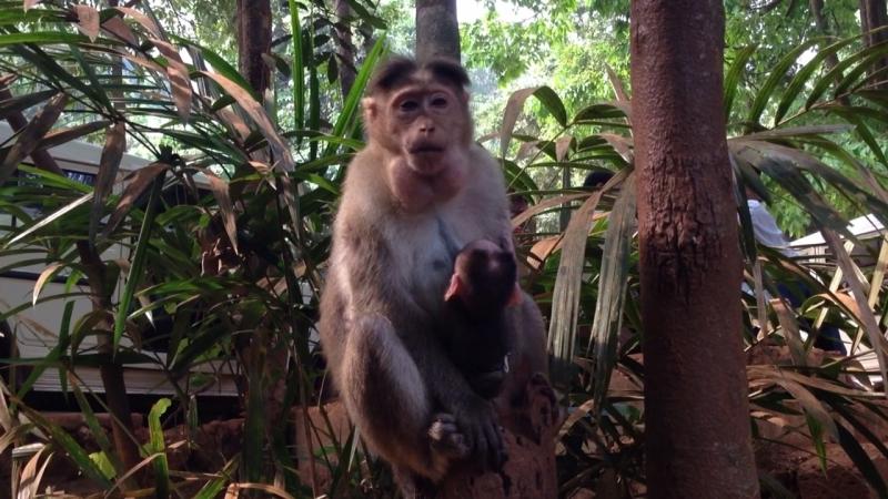 Кормление индийских обезьянок)