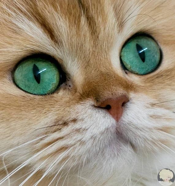 Смузи - британская длинношёрстная или «самая фотогеничная кошка в мире». Это пушистое зеленоглазое великолепие известнее многих знаменитостей, ведь её профиль в Instagram на данный момент насчитывает уже более 1,6 млн. подписчиков.
