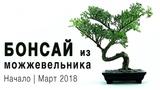 Как сделать бонсай из можжевельника How to make bonsai of juniper First step March 2018