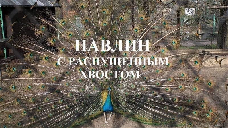 Павлин с распущенным хвостом в зоопарке видео Тамара Павлова