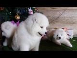 Щенки Январь2019 ВидеоКлип Белоснежная Стая puppy samoyeds video for kids