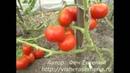 Ранний помидор селекции Сараева О 33