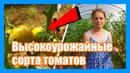 Высокоурожайные сорта томатов для теплицы и грунта. Описание сортов томатов для теплицы, отзывы.