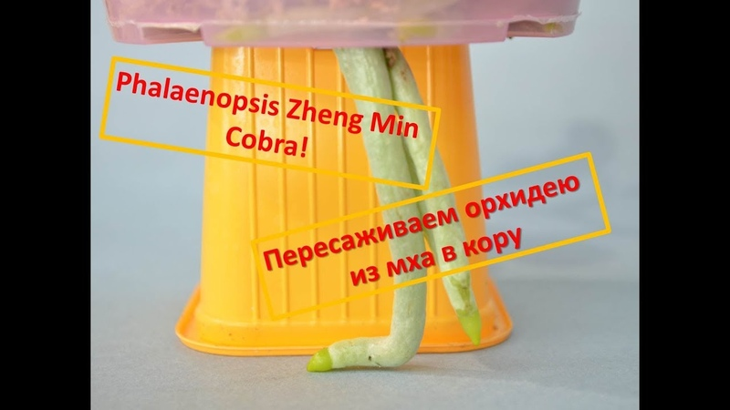 Пересадка фаленопсиса из мха в кору (Phalaenopsis ZM Cobra)