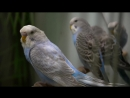 Budgies singing in Pet Store ¦ Parakeet Sounds ¦ 1 Hour