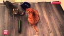 Коты и огурцы. Уральский вариант