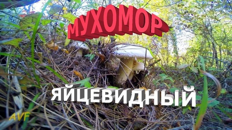 МУХОМОР ЯЙЦЕВИДНЫЙ КАК ИСКАТЬ / МУХОМОРОЕДЫ ГЛОТАЙТЕ СЛЮНКИ / Amanita ovoidea