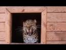Дальневосточный леопард Сильва из Барнаульского Зоопарка