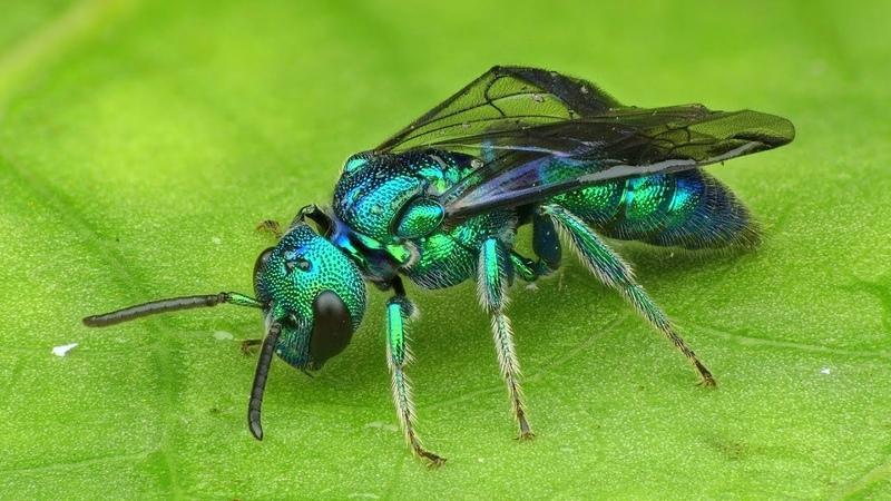 Iridescent Bee, Temnosoma sp., Halictidae from Ecuador