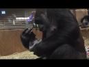 Это трогательное видео гориллы и её новорожденного детеныша