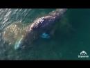 На Чукотке кит подплыл к берегу почесать брюхо