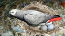 The hatching of a parrot egg- African Grey Parrot laying eggs