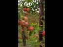 Роскошный яблоневый сад. Формат 4D.