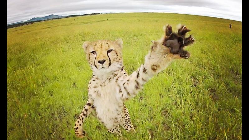 ТОП 10 видео животные нападают на квадрокоптеры, дроны.