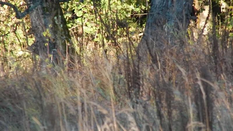 Косули в лесу возле с.Яреськи