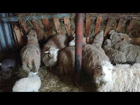Купил еще 7 овец и 7 ягнят на разведение,откорм