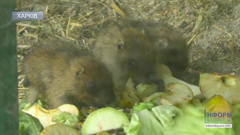 Поповнення в родині бабаків: в екопарку народилися 8 дитинчат