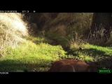 Cougar family on Tejon Ranch 1
