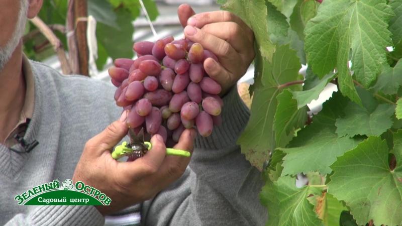 Виноград формирование лозы в августе сроки когда максимально накапливаются сахара в ягодах что этому способствует
