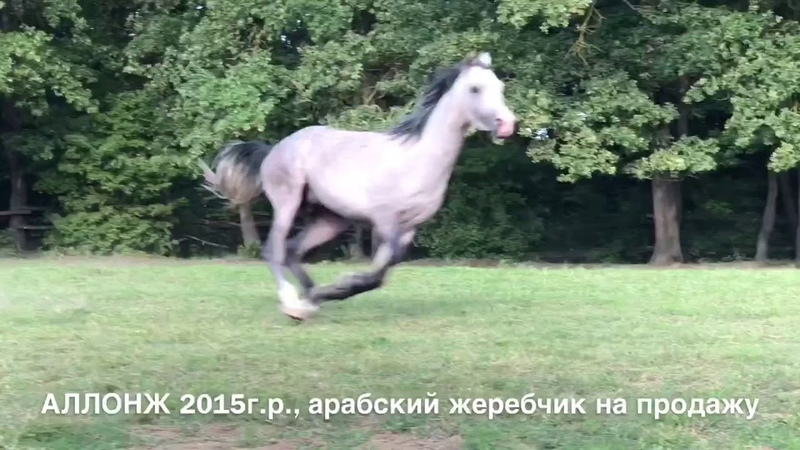 Продажа лошадей арабской породы конефермы Эквилайн, тел., WhatsApp 79883400208 (АЛЛОНЖ 2015г.р.)