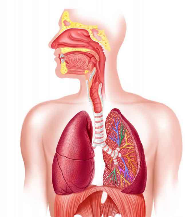 Дыхательная система человека. Есть много разных респираторных заболеваний