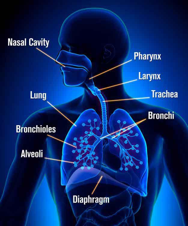 Дыхательная система состоит из рта, горла, носа, пазух, бронхов и легких.