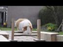 Guinea Pig Olympics - Parry Gripp