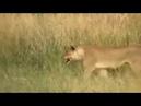 Đang đẻ thì bị tấn công - Sức mạnh bầy đàn kinh điển thế giới động vật