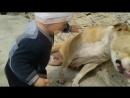 Учим Бойцовую собаку Любить Собака прошла ад после боёв