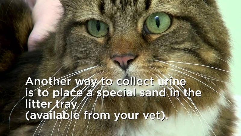 Как собрать мочу у кошки / How to collect your cat's urine