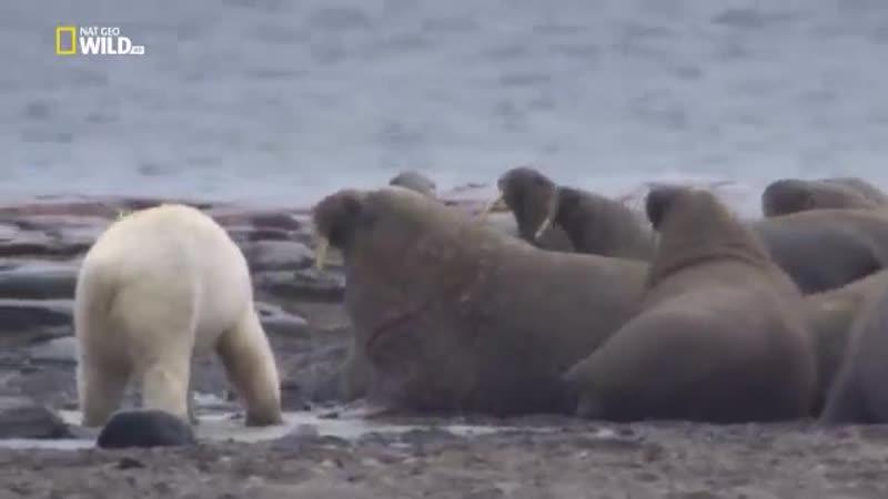 Аляска Белый медведь охотится на моржа
