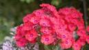 Самые ранние флоксы Радуга в вашем саду и облака цветов