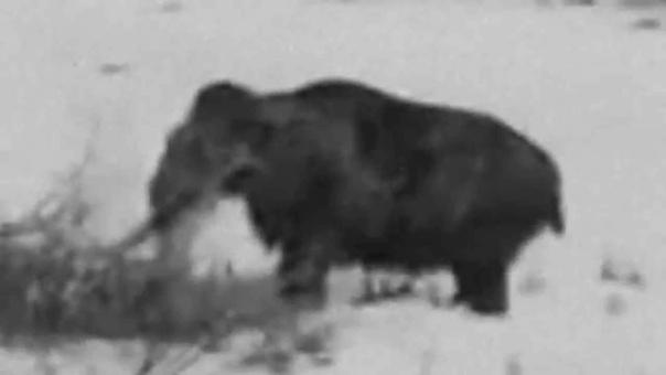 Сибирские мамонты живы до сих пор Существует предание, что в 1581 году воины знаменитого покорителя Сибири Ермака видели огромных волосатых слонов в дремучей тайге. Проводники объяснили Ермаку,