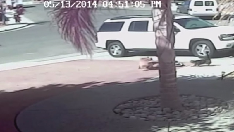 VIDEO Cat saves Bakersfield boy from dog attack