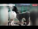 В Красноярском зоопарке альпакам сделали прически