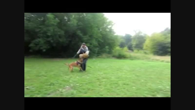 Дрессировка собак. Бельгийская овчарка. Малинуа