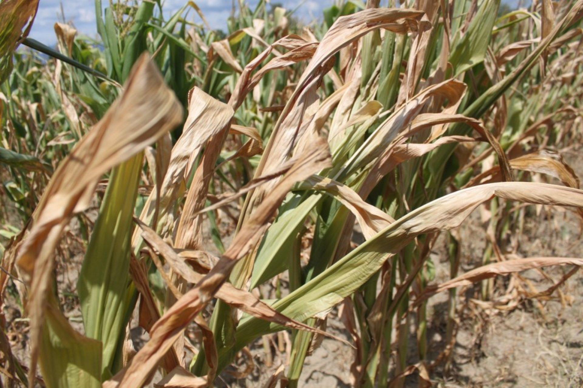 В Крыму из-за засухи сильно страдает аграрный сектор