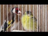 Видео про щегла и про чижа, щегол и чиж