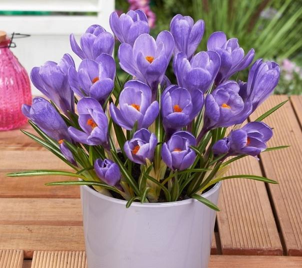 Крокус (Шафран) Крокус (лат. Crocus sativus) многолетнее растение, до 15 см, относится к семейству Ирисовых. Каждая корма производит несколько чашевидных, сиренево-фиолетовых цветов, которые