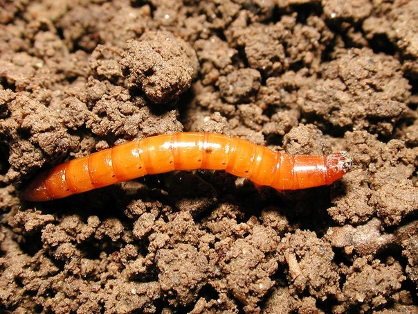 Проволочник в огороде: как избавиться навсегда, как бороться Проволочник личинка жука-щелкуна, представляющая собой овальное удлиненное тело. Личинки этих вредителей являются очень жесткими и